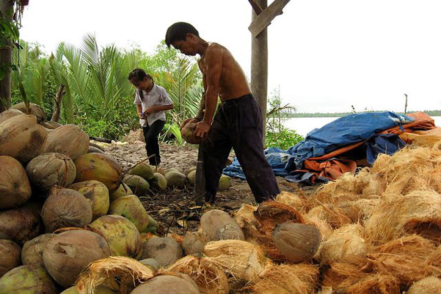 harvest-coconut-in-Ben-Tre-Vietnam